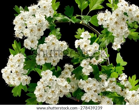 Hawthorn blossoms on black background - stock photo