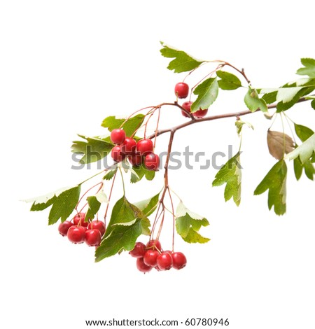 Hawthorn (Crataegus; thornapple) berries clusters isolated on white background;