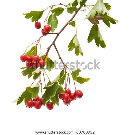 Hawthorn (Crataegus; thornapple) berries clusters isolated on white background