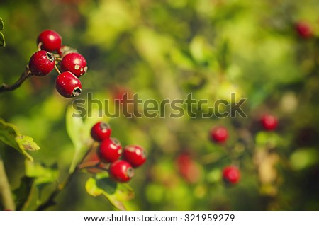 Hawthorn red berries in nature, autumn seasonal background - stock photo