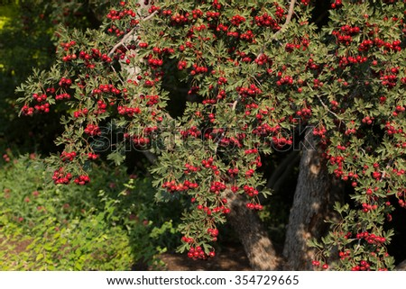 Hawthorn trees with berries. These thorny trees are commonly used in traditional medicine remedies. - stock photo