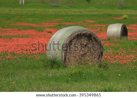 Hay Bale and wild flowers/ Hay Bale and Indian Paintbrush Flowers/ A Hay Bale sits in a field with red Indian Paintbrush flowers.  - stock photo