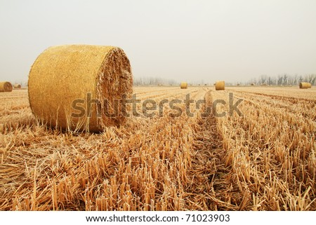 Hay bale or sheaf in a cold day in winter difficoult agriculture