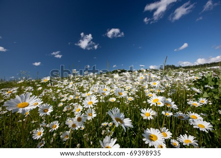 Hayfield with daysies, beautiful nature of Latvia - stock photo