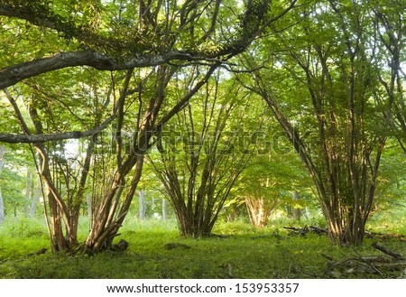 Hazel trees in sunlit forest