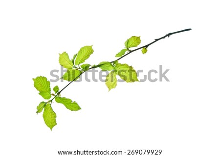 Hazel twig with small young leaves isolated on white    - stock photo