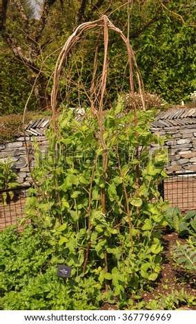 Hazel Wigwam with Young Pea Plants (Pisum sativum, variety 'Purple Podded') Growing inside in a Country Cottage Garden in Rural Devon, England, UK - stock photo
