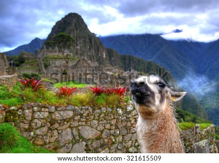 HDR image: A white lama staring at the background of Machu Picchu, Peru, UNESCO World Heritage Site. One of the New Seven Wonders of the World. Selective focus - stock photo