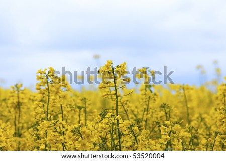 HDR Image of a rapeseed field used for biodiesel - stock photo