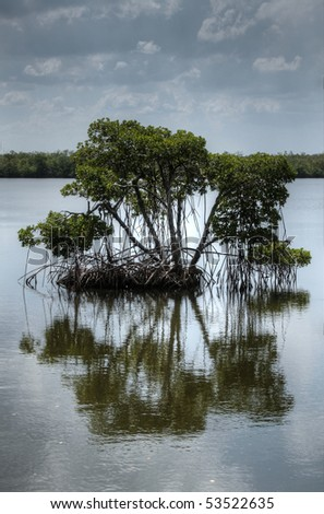 HDR image of mangrove tree growing in water - stock photo
