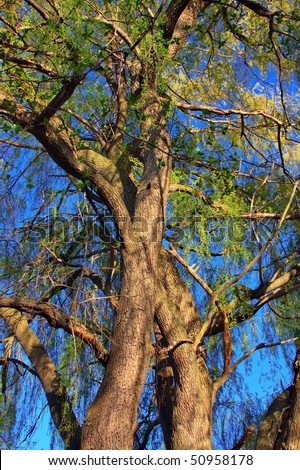 hdr weeping willow - stock photo