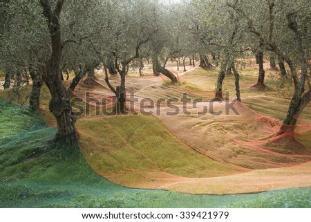 He extended networks for the Olive harvest in late fall - stock photo