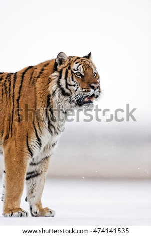 He is preparing for hunting. Amur tiger has stripes and a shade of orange in color. Amur tiger is walking catwalk style on icy floor.