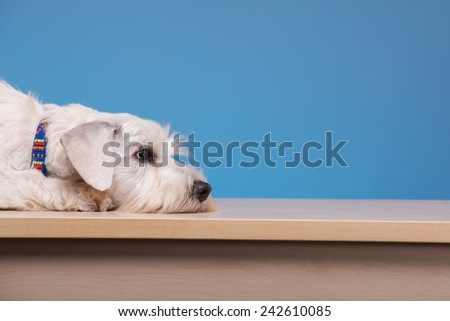 He is unwell. Portrait of a cute little dog lying on the table against blue background - stock photo