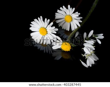 He loves me, he loves me not. Old childhood game. Innocence concept. Daisies and petals on shiny black with reflection.  - stock photo