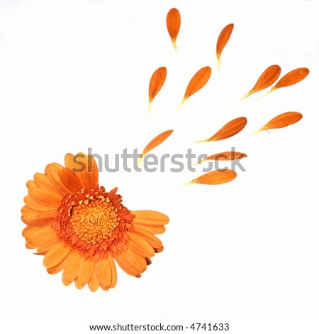 he loves me, he loves me not.  Orange gerbera with a few petals torn out.  isolated on white - stock photo