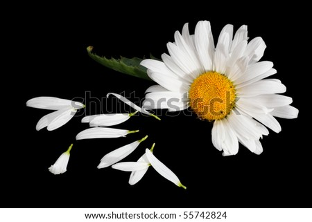 He Loves Me, reading the daisy. Isolated black background - stock photo