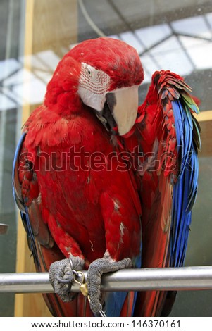 he Scarlet Macaw is a large, red, yellow and blue South American parrot, a member of a large group of Neotropical parrots called macaws.   - stock photo