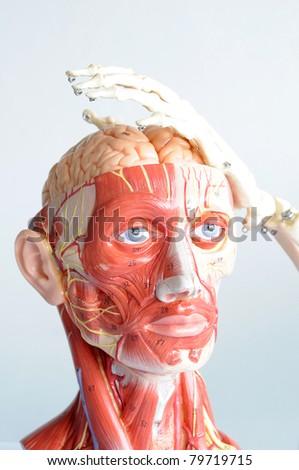 head anatomy and hand bone - stock photo