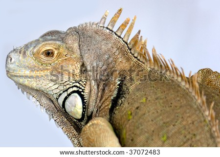 Head and Body of a Green Iguana - stock photo