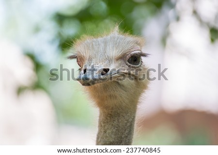 Head and eye of Ostrich closeup in the morning - stock photo