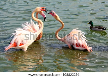Head and neck image of flamingos, crashing their beaks against each other. - stock photo