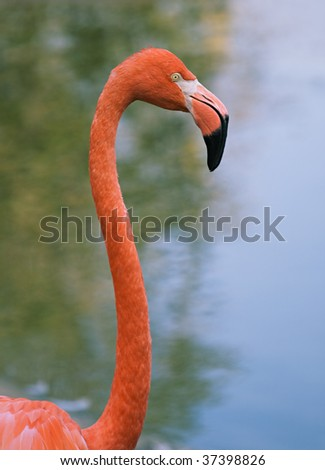 Head and neck of a red flamingo, Moscow zoo