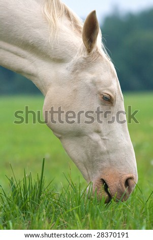Head and neck of a white horse eating grass - stock photo