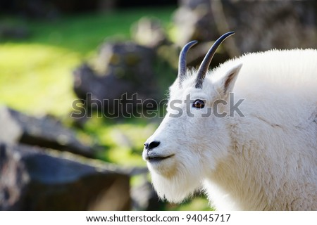 Head and neck of bearded and horned Rocky Mountain Goat with soft focus background - stock photo