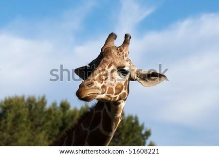 head and neck of giraffe - stock photo