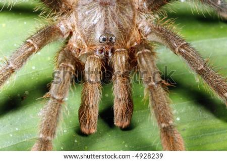 Head and pedipalps of Amazonian tarantula - stock photo