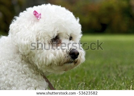 Head and shoulder shot of Bichon Frise dog against subdued background of grass and fence.  Pink bow above right ear. - stock photo