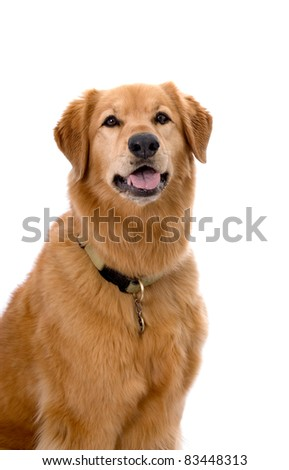 Head and shoulders portrait of a pretty Golden Retriever mixed breed dog - stock photo