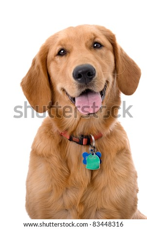 Head and shoulders portrait of a very pretty young Golden Retriever - stock photo