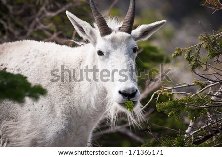 Head and torso of a mountain goat chewing pine tree sprigs