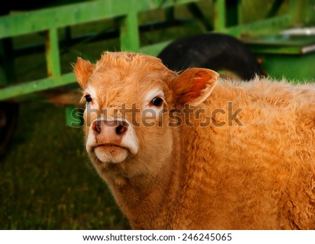 Head brown hair veal on a green meadow - stock photo