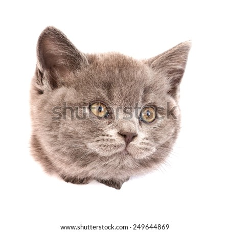 head cat in paper side torn hole looking away. isolated on white background - stock photo