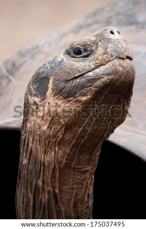 Head close-up of the giant Galapagos Tortoise (Ecuador) - stock photo