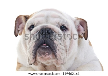 Head Closeup of English bulldog over white background - stock photo