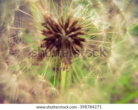 head dandelion and view inside a dandelion on a green background closeup - stock photo