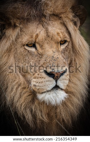 head detail of male lion relaxing in the savannah grasslands, with beautiful full main