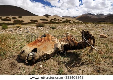 Head from dead horse, mountain desert, Ladakh, India - stock photo