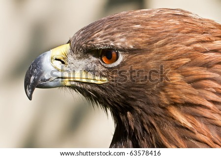 head golden eagle close up - stock photo