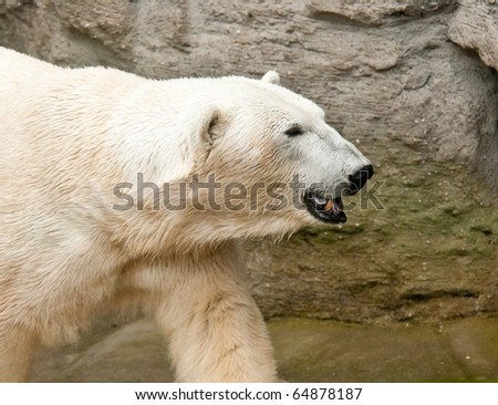 Head od walking polar bear