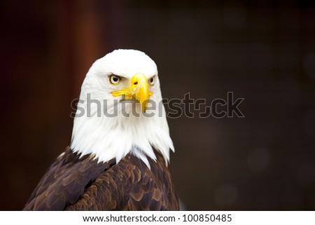 Head of a bald eagle - stock photo
