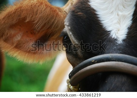 Head of a beautiful cow
