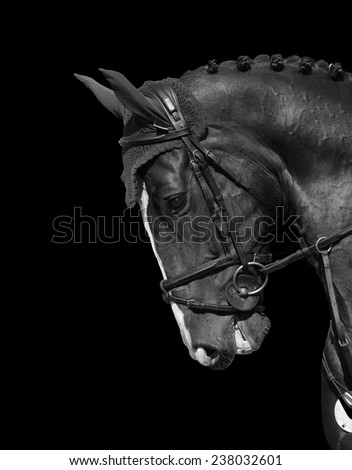 head of a beautiful thoroughbred Holstein Horse close-up - stock photo