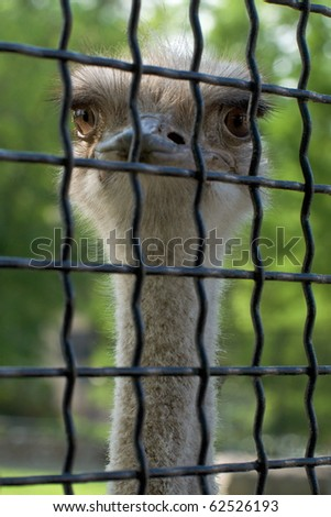 Head of a big-eyed ostrich in a zoo cage