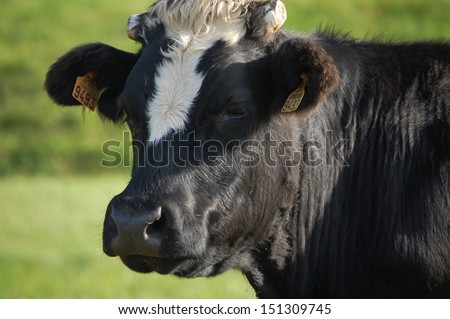 Head of a black and white cow