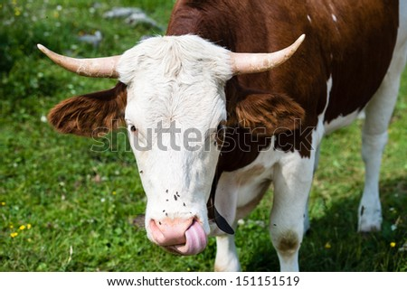 Head of a brown bull cow grazing in the Bavarian Alps - stock photo